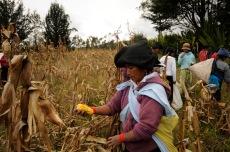 MOROCHOS, Imbabura (23-06-2012).- Marí'a Carmen Jalate participa en la minga de cosecha de maíz, previo a la celebració—n de la fiesta de San Juan, denominada Inti Raymi, en agradecimiento a la cosecha de maíz. Este acto se realiza todos los añ–os en un terreno comunitario destinado especí'ficamente para este fin. Alfredo Cárdenas.