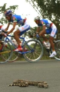 BABAHOYO, Los Rios (08-08-06).- Una Boa constrictor permanece en la carretera, durante la XXVII Vuelta a la República de Ciclismo, en la etapa Naranjal-Banahoyo. Alfredo Cárdenas.
